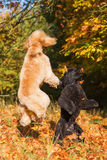 Two poodles with autumn leaves royalty free stock images