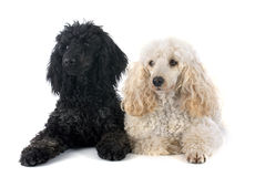 Two poodles Stock Images