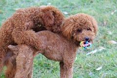 Two poodles in roughhouse Stock Photos