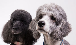 Two poodles Stock Image