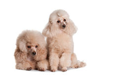 Two poodles on a white background. Two poodles apricot color on a white background Stock Photo