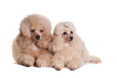 Two poodles on a white background. Two poodles apricot color lie on a white background, isolate Stock Photo