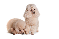 Two poodles on a white background. Two poodles apricot color on a white background isolate Stock Image