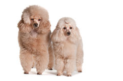 Two poodles on a white background. Two poodles apricot color on a white background isolate Stock Photography