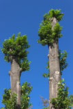 Two poplar Royalty Free Stock Photography