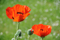Two Poppies Stock Photo