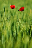 Two poppies Stock Photography