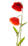 Two  poppies Royalty Free Stock Photos