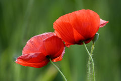 Two poppies. In foreground in a warm summer afternoon Royalty Free Stock Photography
