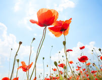 Two  poppies against blue sky with white clouds Royalty Free Stock Images