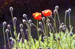 Two poppies in a field. Royalty Free Stock Image