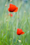 Two poppies outdoors Royalty Free Stock Image
