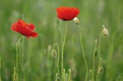Two poppies Royalty Free Stock Photos