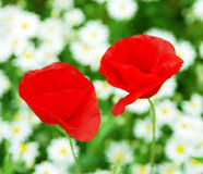 Two poppy Stock Photography