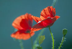 Two poppy. On a blue background Stock Images