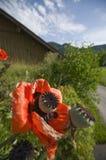 Two poppy buds Stock Photos