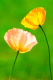 Two poppy flowers. On out of focus, blurred green background stock photography