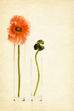 Two poppy flowers on paper background Stock Photos