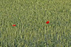 Two poppy flowers in wheat field Stock Image