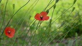 Two Poppy Flowers in Wind. Poppy flowers and other flower buds on the stem, swaying in the chill wind. Sound included. Ornamental poppies are grown for their stock video