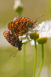 Two populating fritillary Stock Images