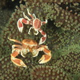 Two porcelain crabs Stock Photo