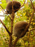 Two porcupine. Porcupine sleeping in tree Royalty Free Stock Photo