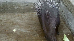 Two porcupine in a cage. They eat and get on his hind legs stock footage