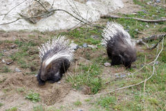Two porcupines Stock Photography