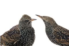 Two portrait starling Royalty Free Stock Photo