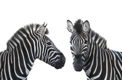 Two portrait zebra Royalty Free Stock Photography