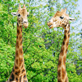 Two portraits of giraffes Stock Image