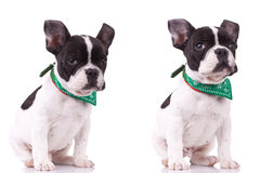 Two poses of a cute french bulldog Royalty Free Stock Photo