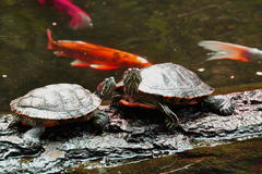 Two Posing Turtles Royalty Free Stock Photo