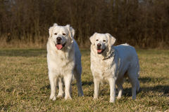 Two posing white dogs Stock Images