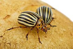Two potato bugs on the potato Stock Images