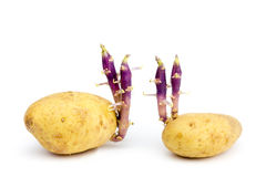 Two potatoes with hairy stems isolated on white background Stock Photos