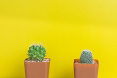 Two potted cactus potted cactus on yellow background Stock Image