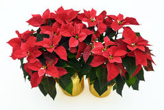 Two Potted Poinsettia Plants on White Royalty Free Stock Photography