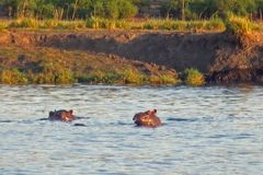 Two Hippos Playing In A River Stock Photography