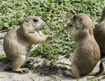 Two prairie dog eating grass Stock Images