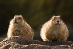 Two prairie dogs Royalty Free Stock Photography