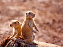Two prairie dogs Stock Photos