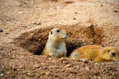 Two Prairie Dogs Stock Image