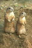 Two prairie dogs. Two black tailed prairie dogs sit on their haunches, surveying their territory stock photography