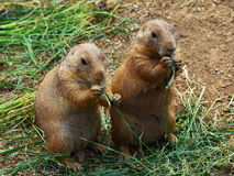 Two prairie dogs Stock Images