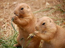 Two prairie dogs Royalty Free Stock Image