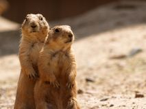 Two Prairie Dogs. Standing Together Stock Photo