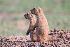Two prairie dogs on alert. Prairie Dog standing at alert royalty free stock image