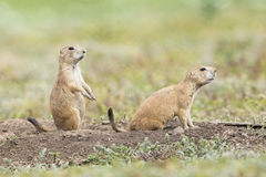 Two prairie dogs on alert. In the Oklahoma plains stock images